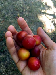 Tasting Armenian plums at Havuts Tar, Armenia