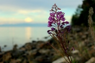 Exploring Siberian flora: flowers at Baikal Lake, Siberia, Russia