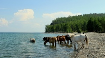 Observing horses at Baikal Lake, Siberia, Russia